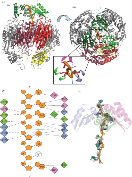 Interactions of Caulobacter crescentus PNPase with RNA. (a) (i) and (ii) correspond to the perspectives shown in figure 1b, with the three KH domains coloured green. The inset is an expanded view with the GSGG loops coloured red. (b) Schematic of the contacts with the RNA. Residues involved in phosphate backbone hydrogen bonding are shown on the left. Residues forming van der Waals contacts are in the far right margin, and the residues hydrogen bonding to bases or sugar 2′-OH groups are in the middle-right group. The diamonds are colour coded for the three PNPase chains. All contacts shown are from the KH domain or from the FFKR loop at the entry aperture of the central channel. Base 7 is disordered and has not been modelled in the final structure. (c) Electron density map for endogenous RNA chain. An omit map of the RNA chain contoured at 1σ is shown as grey mesh. RNA is shown as orange and green cartoon, and the three KH domains are shown as semi-transparent cartoons, coloured separately as in figure 2b.
