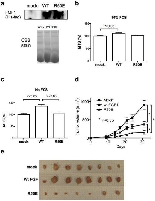 R50E suppresses tumorigenesis in vivo.a. Transfected DLD-1 cells secrete WT FGF1 or R50E into culture medium. DLD-1 cells that stably express WT FGF1 or R50E were generated. The WT FGF1 and R50E have a 6His-tag at the N-terminus. To detect FGF1 secreted from the transfected cells, we analyzed the culture media by Western blotting with anti-6His antibodies. Mock-transfected cells were used as a control. As a loading control, we ran the same samples in gel in parallel and stained the gel with Coomassie Brilliant Blue (CBB). b. Proliferation of DLD-1 cells in the presence of 10% FCS. DLD-1 cells that secrete R50E grew in the medium that contains FCS in vitro at levels comparable to those of WT-FGF1 expressing cells or mock transfected cells. Statistical analysis was done by one-way ANOVA plus Tukey analysis. c. Proliferation of DLD-1 cells in the absence of FCS. DLD-1 cells that secrete R50E grew in vitro in the medium without FCS at levels comparable to that of mock-transfected cells. Cells that express WT FGF1 grew faster than mock-transfected and R50E expressing cells. Statistical analysis was done by one-way ANOVA plus Tukey analysis. d. The growth curve of DLD-1 cells in vivo. WT FGF1 enhanced tumor growth in vivo, while R50E suppressed it (as shown by the growth curve and the sizes of DLD-1 tumors removed at day 31). We injected the DLD-1 cells that secrete WT FGF1or R50E into nude mice (1 million cells/site) at right and left inguinal regions (4 mice per group, 2 tumors/mouse). Mock-transfected cells were used as a control. Statistical analysis of tumor sizes at Day 31 was done by t-test (n = 8 for mock and wt FGF, n = 7 for R50E). e. The sizes of tumors at Day 31. DLD-1 cells secreting wt FGF1 grew faster, and cells secreting R50E slower, than mock-transfected cells (n = 8 for mock and wt FGF, n = 7 for R50E).