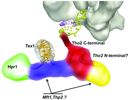 Figure 2. Three-dimensional structure of THO, generated by electron microscopy and image processing. The THO complex (EMD-2053) comprises Tho2, Hpr1, Mft1,Thp2 and Tex1 proteins. Different electron microscopy experiments have helped to localized Hpr1, Tex1 and the C-terminal region of Tho2, which is involved in nucleic acid binding [and which we show here in close relation with the RNA polymerase (EMD-1322)]. The localization of the rest of the subunits is speculative.