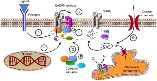 Possible strategies for NADPH oxidase inhibition. Several steps that can be used to modulateNADPH oxidase activity. (1) NADPH oxidase subunits expression. (2) Signaling upstream of NADPHoxidase activation. (3) Association of cytosolic subunits and formation of the complete enzymecomplex. (4) Subunit phosphorylation (P) and activation. (5) Modulation of cytosolic calciumconcentration. (6) Transference of electrons through the enzyme complex.Abbreviations: Ca2+, calcium ion; CaM, calmodulin; e−,electron; FAD, flavin adenine dinucleotide; HSP90, heat shock protein 90; NADPH, nicotinamideadenine dinucleotide phosphate; O2−, superoxide anion; O2, oxygen.