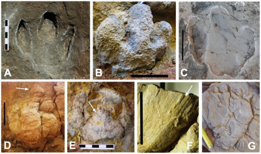 Footprint morphologies and characteristics.(A, C) Hadrosaur pedal tracks (MCD-5140 and MCD-5142, respectively) from the La Llau de la Costa locality. (B) Hadrosaur pedal track from the Iscles-3 locality. (D) Hadrosaur pedal track (uncollected) from the Barranc de Guixers-1 locality. Note the impression of the distal ungual phalanx (arrow). (E) Hadrosaur pedal track (uncollected) from the Masia de Ramon Petjades locality. Note the triangular-shaped plantar impression produced by the heel pad (arrow). (F) Striae or scale scratch lines (arrow) on the margins of a toe in the MPZ 2012/829 cast from the Serraduy Norte locality. (G) Sauropod pedal track (cast) from the Barranc de Guixers-2 locality. Scale bar: 15 cm (in A–E); 5 cm (in F); scale tape in G in cm.
