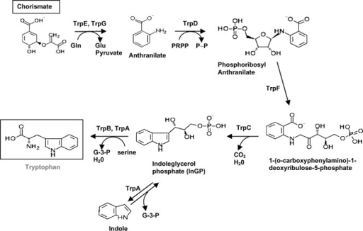 Detailed biosynthetic pathway for tryptophan biosynthesis. Details are as in the legend for Fig. 1.