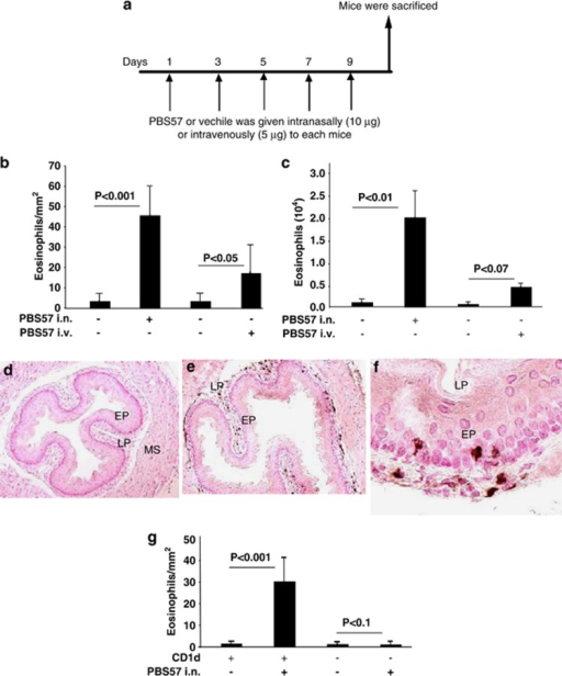 In vivo iNKT cell activation by PBS57 and esophageal eosinophil analysis. Mice (BALB/c) were exposed to repeated exposure of intravenous (i.v.) or intranasal (i.n.) PBS57  as per the protocol shown in (a). After 20–24 h of the last PBS57 or vehicle challenge, mice were killed, and eosinophil levels were evaluated in the esophagus (b) and BALF (c). Representative anti-MBP antibody-immunostained high-resolution photomicrographs of intraepithelial eosinophils in the esophagus after vehicle (d, original magnification × 100) or intranasal PBS57 challenge (e, original magnification × 100 and f, original magnification × 400). The absolute numbers of eosinophils in the esophagus of CD1d- mice and wild-type mice after intranasal PBS57 challenge of mice (g). Data are expressed as mean±s.d., n=12 mice/group. EP, epithelium; LP, lamina propria; MS, muscularis mucosa.