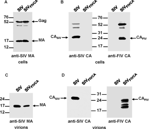 Assembly phenotype of the chimeric SIVFIV CA virus.293T cells were transfected in parallel with the wild-type SIVSMM-PBj and SIVFIV CA proviral DNAs. At 48 h post-transfection, cell and virion lysates were resolved on SDS-polyacrylamide gels, transferred to nitrocellulose membranes and detected with antibodies specific for the SIV MA (A and C) and for the SIV and FIV CA proteins (B and D). The positions of the wild-type and chimeric Gag proteins as well as those of the MA and CA proteins are shown. Numbers refer to the positions of the molecular weight standards (in kDa).