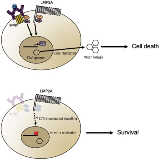 Loss of viral replication functions may promote the deve-lopment of Epstein-Barr virus (EBV)-positive classical Hodgkin lymphoma (cHL).Upper panel: in normal B cells, either B-cell receptor (BCR)- or latent membrane protein 2A (LMP2A)-mediated signaling can induce the EBV lytic cycle, ultimately leading to the release of infectious virions and eventual cell death. Lower panel: Hodgkin/Reed-Sternberg (HRS) cells lack not only a functional BCR but also essential components of the BCR signaling machinery such as Lyn and Syk and the transcription factor Egr1. Thus, BCR-negative germinal center (GC) B cells that also lack essential BCR signaling components might be positively selected during the development of cHL because they are protected from entry into the EBV replicative cycle and the ensuing cell death. LMP2A expression is retained in EBV-positive HRS cells, but it is not known how LMP2A signals in the absence of BCR signaling components.