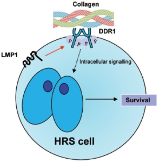 Potential role for collagen in activating the oncogenic functions of LMP1.LMP1 can induce expression of the collagen receptor, discoidin domain receptor 1 (DDR1), in the normal EBV-infected GC B cell (indicated by red arrow). During a chronic inflammatory response, collagen is deposited in the microenvironment of the EBV-infected cell and can activate DDR1, leading to growth-promoting signaling.