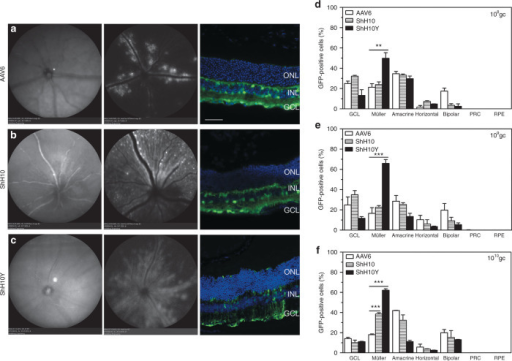 AAV6, ShH10, and ShH10Y tropism following intravitreal injection in adult murine retina. In vivo scanning laser ophthalmoscopy at 830 nm (left panel) for native fundus images and at 488 nm for green fluorescent protein (GFP) fluorescence images (middle panel) of Crb1−/− mice 3 weeks after intravitreal injection of 1010 genome copies (gc) of CMV-GFP with (a) AAV6 capsids and AAV6-derived capsids (b) ShH10 and (c) ShH10Y showed more widespread expression of GFP with ShH10 and ShH10Y capsids than AAV6, which localized mainly along the blood vessels. A representative transverse retinal section (right panel) revealed more GFP-positive Müller glial cells with ShH10Y capsids. Transduction profiles of three retinas injected with CMV-GFP vectors packaged in AAV6, ShH10, and ShH10Y capsids at (d) 108, (e) 109, and (f) 1010 gc showed that ShH10Y is the most powerful capsid to transduce mouse Müller glial cells even at low doses. Data are presented as mean ± SEM and n = 3/AAV/dose. **P < 0.01, ***P < 0.001. Bar = 50 µm (a–c). AAV, adeno-associated virus; CMV, cytomegalovirus; GCL, ganglion cell layer; INL, inner nuclear layer; ONL, outer nuclear layer; PRC, photoreceptor cell; RPE, retinal pigment epithelium.