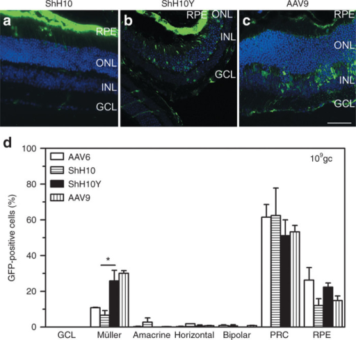 ShH10, ShH10Y, and AAV9 tropism following subretinal injection in adult murine retina. Representative transverse retinal section of Crb1−/− mice 3 weeks after subretinal injection of 109 genome copies (gc) of CMV-GFP with (a) ShH10, (b) ShH10Y, and (c) AAV9 capsids showed more GFP-positive cells with AAV9 capsids. (d) Transduction profiles of three retinas injected with CMV-GFP vectors packaged in AAV6, ShH10, ShH10Y, and AAV9 revealed that ShH10Y and AAV9 were the most powerful capsids to transduce mouse Müller glial cells via the subretinal route in contrast to AAV6 and ShH10. Data are presented as mean ± SEM and n = 3/AAV/dose. *P < 0.05. Bar: 50 µm (a–c). AAV, adeno-associated virus; CMV, cytomegalovirus; GCL, ganglion cell layer; GFP, green fluorescent protein; INL, inner nuclear layer; ONL, outer nuclear layer; PRC, photoreceptor cell; RPE, retinal pigment epithelium.
