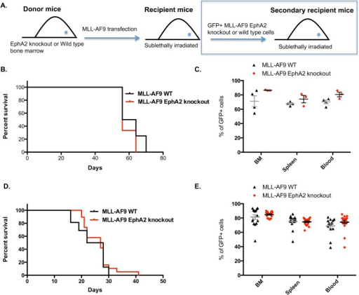 MLL-AF9 EphA2 knockout mice have similar leukemogenic potential.(A) Serial MLL-AF9 leukemic transplantation model. (B) Survival of leukemic mice transplanted with EphA2 knockout MLL-AF9–transduced hematopoietic stem cells (LKS+) compared to wild type MLL-AF9–transduced hematopoietic stem cells (LKS+) showed no significant differences between the two groups (n = 4 wild type, n = 3 EphA2 knockout, 2 independent experiments). (C) Percentage of GFP+ cells in bone marrow, spleen and blood of the EphA2 knockout and wild type MLL-AF9 bone marrow, spleen and blood at time of cull did not show any significant differences between the two groups. (D) Survival of secondary MLL-AF9 mice transplanted with GFP+ EphA2 knockout or GFP+ wild type MLL-AF9 cells from the primary transplant showed no significant differences between the two groups (n = 16 wild type, n = 19 EphA2 knockout, 4 independent experiments). (E) Percentage of GFP+ cells in bone marrow, spleen and blood of the secondary transplanted wild type or EphA2 knockout MLL-AF9 mice did not show any significant differences between the two groups. Each dot corresponds to one individual mouse. The data represent the mean ± SEM. Unpaired t test was performed for statistical analyses. The survival is presented as Kaplan-Meier survival curves (Log rank test was used for statistical analysis).