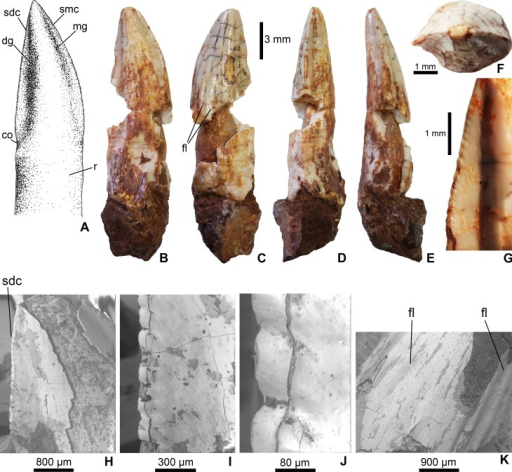 Mesoeucrocodylia indet. crocodyliform tooth (MFGI V 2015.90.2.1.) from the Lower Cretaceous (Lower Albian) Alsópere Bauxite Formation.(A) Reconstruction of the tooth in lingual view. (B) The tooth in lingual; (C) labial; (D) distal; (E) mesial; (F) apical view. (G)–(J), Details of the serrated distal carina. (K) Details of the flutings on the labial side of the tooth. Abbreviations: co, constriction between the crown and root; dg, distal groove; fl, fluting on the enamel surface; mg, mesial groove; sdc, serrated distal carina; smc, serrated mesial carina; r, root.