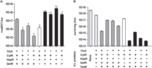 Expression of Type VI secretion system genes and T6SS-mediated killing are positively regulated by CytR, TfoX, HapR, and QstR.V. cholerae C6706 with indicated alleles of tfoX, cytR, hapR, and qstR (+, native;-, deletion; *, constitutively expressed) were analyzed for expression of bioluminescence from a plasmid-encoded lux transcriptional reporter fusion to the promoter of first gene of a T6SS auxiliary cluster, vca0017 (Panel A). Bioluminescence is defined as relative light production per OD600 (RLU). All strains are deleted for luxO and are therefore constitutive for HapR expression (*) when the hapR gene is present. Data shown are mean values ± standard deviation for triplicates from one representative experiment of three performed. ‡ indicates a p-value < 0.01, † indicates a p-value <0.05. N.S. denotes not significant, calculated using a two-tailed Student's t-test. Bars 2–5 are compared to bar 1 and bars 7–9 are compared to bar 6. Panel B: Chloramphenicol resistant E. coli prey were incubated with the indicated V. cholerae predator strains at a ratio of 1:10 on membrane filters to monitor contact-dependent killing. Total surviving prey cfus are represented in each case.