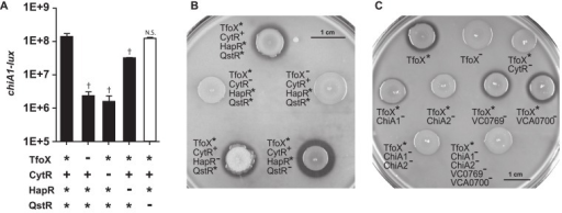 Expression of V. cholerae chitinases requires TfoX and CytR, but not HapR or QstR.Panel A: V. cholerae strains with indicated alleles of tfoX, cytR, hapR and qstR (+, native;-, deletion; *, constitutively expressed), were analyzed for expression of bioluminescence from a plasmid-encoded lux transcriptional reporter fusion to the promoter of the chitinase chiA1. All strains are deleted for luxO and are therefore constitutive for HapR expression (*) when the hapR gene is present. Bioluminescence is defined as relative light production per OD600 (RLU). ‡ indicates a p-value < 0.01, † indicates a p-value <0.05. N.S. denotes not significant, calculated using a two-tailed Student's t-test. Bars 2–5 are compared to bar 1. Panel B and C: Chitin agar plate assays. V. cholerae strains with indicated alleles of tfoX, cytR, hapR, and qstR were assayed for chitinase activity which results in a zone of clearing on LB plates containing 2% colloidal chitin (panel B). Strains constitutive for TfoX (*) and isogenic strains deleted for cytR, tfoX and the CytR-dependent chitinases chiA1, chiA2, vc0769, vca0700, a chiA1 chiA2 double mutant and a strain deleted for all four chitinases were assayed for the contribution of individual chitinase genes to chitinase activity (panel C).