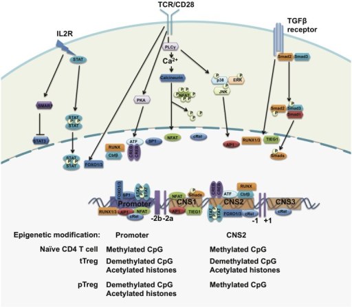 The regulation of FOXP3 expression. The foxp3 promoter, three conserved regulatory regions, and the epigenetic modification status of the foxp3 gene. Upon TCR stimulation, NFAT, AP1, Sp1, and CREB-ATF bind to the promoter of the foxp3 gene. STAT5 forms a dimer in response to IL-2 signals and translocates to the foxp3 promoter. In the periphery, TGF-β signals drive SMADs and NFAT occupancy at the CNS2 region and may induce FOXP3 expression. The CpG island within the foxp3 promoter region is demethylated in both tTreg cells and pTreg cells but not in naïve T cells. The histones bound to the foxp3 promoter region are hyperacetylated in both tTreg and pTreg cells. However, CNS2 is demethylated only in tTreg but not in pTreg cells.