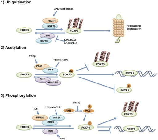 The post-translational modification of FOXP3. The post-translational modifications that affect FOXP3 stability and transcriptional activity. FOXP3 protein is ubiquitinated, acetylated and phosphorylated by various post-translational modification enzymes.