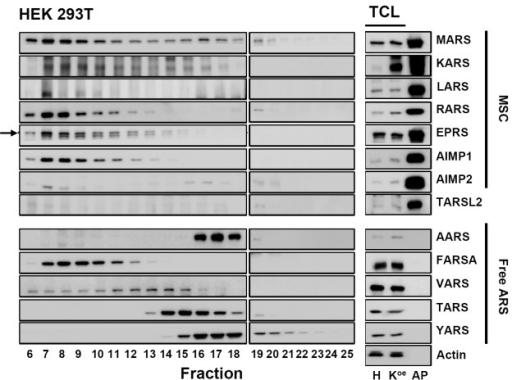 Expression level of endogenous ARS proteins in HEK 293T fractions by western blot analysis.All fractions (5 μL, respectively) were analyzed by western blot with selected ARS antibodies (left panel). Total cell lysate (10 μg) of HEK 293T (H) and KARSoe (Koe), and 5μg of affinity-purified proteins of KARSoe cells (AP) were used as a positive control (right panel). Actin was used as a loading control for total cell lysate. MSC, multi-tRNA synthetase complex; TCL, total cell lysate. Black arrow indicates EPRS.