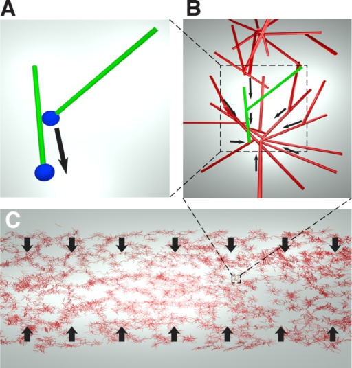 Cartoon of the microscopic model underlying the active fluid theory of network contractions by minus end clustering.(A) Microtubule sliding by dynein drives microtubule minus ends together. (B) Minus end clustering leads to the formation of aster-like structures. Due to steric interactions between microtubules, there is an upper limit to the local microtubule density. (C) The microtubule network is composed of interacting asters. Motor activity driving aster cores together leads to bulk contraction of the network.DOI:http://dx.doi.org/10.7554/eLife.10837.012