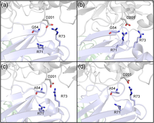 First and last frames of the (a to b) wild-type and (c to d) mutant phases for the VRC-PG04 G54 mutation using the PLOP-predicted starting structure. (b) The wild-type phase regains the contact with the gp120 residue shown, which is found for the crystal structure-based homology model and wild-type loop prediction. (c and d) The mutant phase system maintains the contact between R73 and the gp120 residue because the contact involving R71 is now prevented by the alanine side chain.