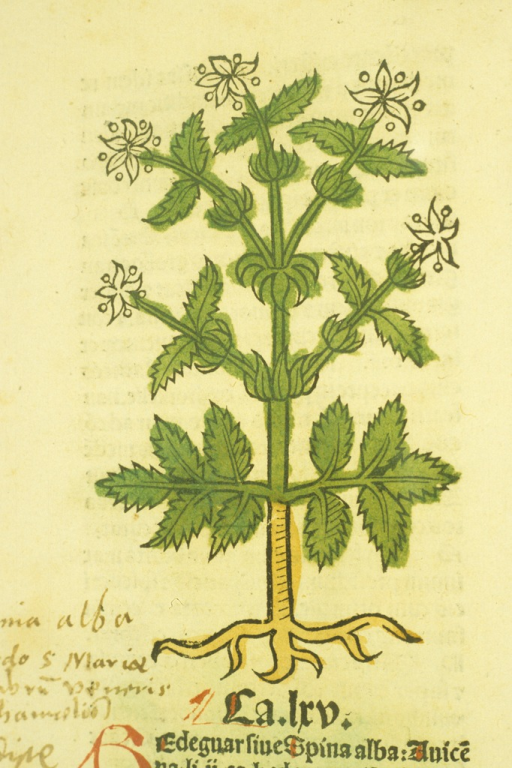 <p>Hand-colored illustration of the flowering shrub.</p>
