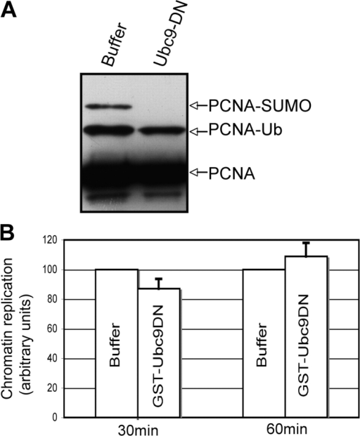 Sumoylation of PCNA is not required for sperm chromatin replication. (A) X. laevis egg extract was supplemented with either buffer or 5 μg/μL GST-Ubc9 dominant-negative protein (Ubc9-DN). Sperm chromatin was incubated in these extracts for 30 min and isolated. The resulting samples were subjected to SDS-PAGE and Western blotting using an antibody recognizing PCNA. (B) Duplicate samples containing 32P-dATP were used to calculate the amount of DNA replication occurring in these samples after 30 and 60 min as described in Materials and methods. The average of three independent experiments is shown with error bars representing the SEM.