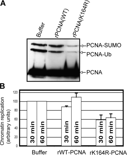 Ubiquitylation of PCNA facilitates sperm chromatin replication. (A) Sperm chromatin was incubated in X. laevis egg extract supplemented with buffer, 0.2 μg PCNA (wild type), or 0.2 μg PCNA (K164R) for 45 min. The chromatin was then isolated and analyzed by SDS-PAGE followed by Western blotting with an antibody recognizing PCNA. (B) Duplicate samples containing 32P-dATP were used to measure DNA replication after 30 and 60 min as described in Materials and methods. The average of three independent experiments is shown with error bars representing the SEM.