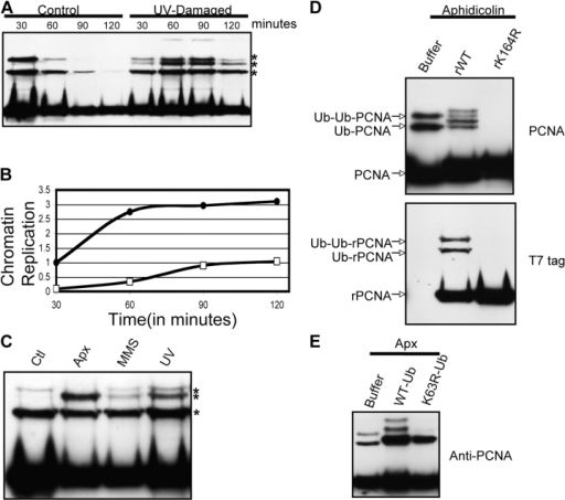 DNA damage induces polyubiquitylation of PCNA. (A) UV-damaged sperm chromatin was isolated from X. laevis egg extract after 30, 60, 90, or 120 min. The associated proteins were analyzed by Western blotting using an antibody recognizing PCNA. The control portions of this experiment are reproduced from Fig. 1 A to facilitate comparison. (B) Duplicate samples from A contained 32P-dATP and DNA replication was measured as described in Materials and methods. Closed circles represent undamaged chromatin and open squares represent UV-damaged chromatin. (C) Undamaged chromatin, MMS-damaged chromatin, or UV-damaged chromatin was isolated from X. laevis egg extract after 45 min. Aphidicolin was added to 100 μg/ml at t = −10 min to the extract incubated with undamaged chromatin. The associated proteins were analyzed by Western blotting using an antibody recognizing PCNA. (D) X. laevis egg extract, preincubated with 100 μg/ml aphidicolin, was incubated with sperm chromatin and either buffer, 0.2 μg/μL T7-PCNA (rWT), or 0.2 μg/μL T7-PCNA (rK164R). Chromatin was isolated and analyzed by immunoblotting with an antibody recognizing either PCNA or the T7 tag. (E) X. laevis egg extract was preincubated with 100 μg/ml aphidicolin. Undamaged sperm chromatin was incubated in this extract which also contained buffer, 0.5 μg/μL His-tagged ubiquitin, or 0.5 μg/μL His-tagged ubiquitin (K63R). Chromatin was isolated and the bound proteins were analyzed by Western blotting with an antibody recognizing PCNA.