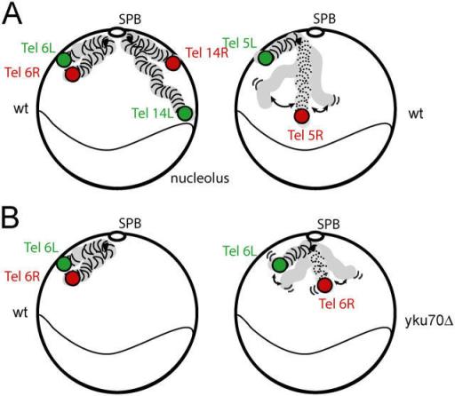 Schematic representation of a Rabl-like chromosome orga