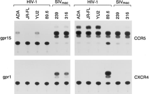 CAT activity in Cf2Th cells expressing CD4 alone or together with gpr1, gpr15, CCR5, or CXCR4 after incubation with HIV-1 recombinant viruses carrying the SIVmac239, SIVmac316, or HIV-1 (YU2, HXBc2, 89.6, or ADA) envelope glycoproteins. A representative experiment is shown.  The amount of target cell lysate used was equivalent for all the experiments shown. CAT activity was determined by calculating the percentage of  chloramphenicol present in acetylated forms (three uppermost spots) to the total amount of chloramphenicol. The nonacetylated form of chloramphenicol is  present in the spot closest to the origin, which is near the bottom of the figure.