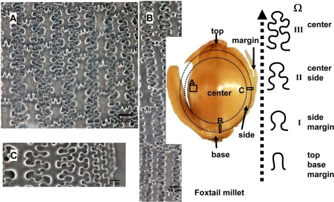 Undulated patterns transformation of epidermal long cell walls in the upper lemma and palea of Foxtail millet.(A), (B), and (C) showing the different designs of phytoliths at center, base, and side of lemma of Foxtail millet, respectively.