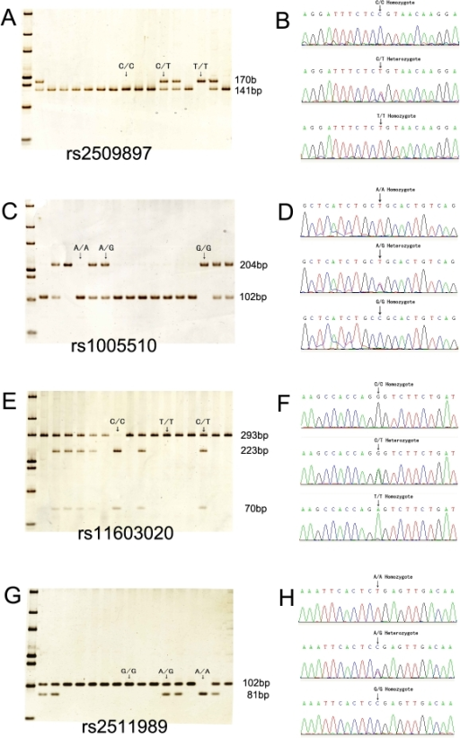 PCR restriction fragment length polymorphism (PCR-RFLP) and DNA sequencing for all tag single nucleotide polymorphisms (SNPs). A: Restriction analysis for rs2509897 resulted in digestible fragment (C/C), undigestible fragment (T/T), and heterozygote (C/T). B: Direct sequencing confirmed the restriction patterns for rs2509897. C: Restriction analysis for rs1005510 resulted in digestible fragment (A/A), undigestible fragment (G/G), and heterozygote (A/G). D. Reverse sequencing confirmed the restriction patterns for rs1005510. E: Restriction analysis for rs11603020 resulted in digestible fragment (C/C), undigestible fragment (T/T), and heterozygote (C/T). F: Reverse sequencing confirmed the restriction patterns for rs11603020. G. Restriction analysis for rs2511989 resulted in digestible fragment (A/A), undigestible fragment (G/G), and heterozygote (A/G). H: Reverse sequencing confirmed the restriction patterns for rs2511989.