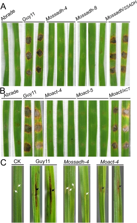 Pathogenicity test of Mossadh and Moact mutant strains on the wounded rice leaves.(A) Pathogenicity test of Mossadh mutants on the wounded rice leaves. The mycelia blocks of the wild type strain Guy11, Mossadh mutants, and the complemented strain were inoculated on the wounded rice leaves and then cultured under moist conditions with 28°C for 5 days. The wounded rice leaves with the CM agar plugs on was used as negative control. This experiment was performed three times with 10 pieces of rice leaves for each strain. Similar results were obtained in each test and this picture showed the representative result. (B) Pathogenicity test of Moact mutants on the wounded rice leaves. The mycelia blocks of Guy11, Moact mutants and the complemented strain were inoculated on the wounded rice leaves and observations made as above. (C) Pathogenicity test of the mutant strain by injection of hyphae fragments. The hyphae fragments of Guy11, the mutant strains and respective complemented strains were prepared as described in Materials and Methods. From left to right, leaves injected with water, wild type strain, Mossadh mutant, and Moact mutant. The arrowheads in black indicate injection sites with necrosis, while the arrowheads in white indicate injection sites without necrosis.