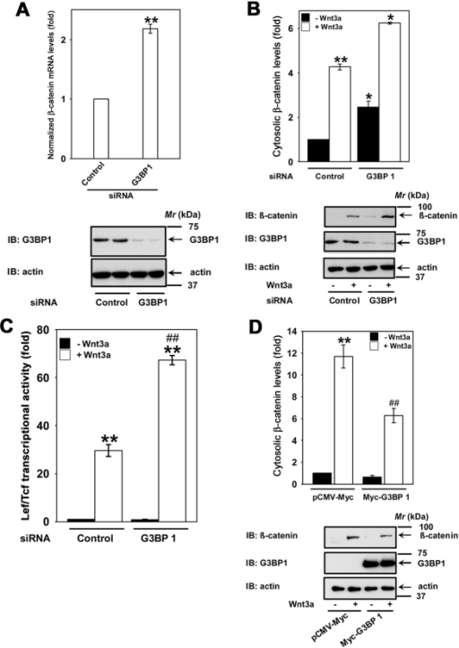 G3BP1 negatively regulates Wnt/β-catenin signaling. (A) F9 cells were treated with either control siRNAs (100 nM) or siRNAs specific to mouse G3bp1 (100 nM) for 48 hours and the levels of mRNA encoding β-catenin and cyclophilin A were quantified using quantitative PCR. The data represent normalized Ctnnb1 mRNA to the Ppia (cyclophilin A) mRNA levels (mean values ± s.e.m.) from two independent experiments whose results were in high agreement. **P<0.01 versus control (control siRNA). F9 cells were treated with either control siRNA (100 nM) or siRNAs specific for mouse G3bp1 (100 nM) for 48 hours and the lysates were assayed either for cytosolic β-catenin levels (B) or Lef/Tcf-sensitive transcription (C). Top panel displays mean values ± s.e.m. obtained from three independent experiments; the bottom panel displays representative blots. *P<0.05; **P<0.01 versus unstimulated control (–Wnt3a). ##P<0.01 versus stimulated control (+Wnt3a). (D) F9 cells were transfected with Myc–G3BP1 for 24 hours and the lysates were assayed for cytosolic β-catenin stabilization. Top panel displays mean values ± s.e.m. obtained from three independent experiments; the bottom panel displays representative blots. **P<0.01 versus unstimulated control (–Wnt3a). ##P<0.01 versus stimulated control (+Wnt3a).