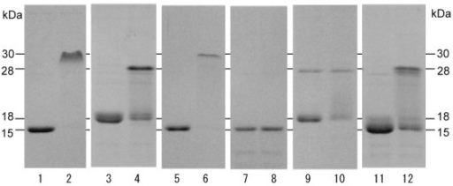 Electrophoretic mobility of wild-type and mutant TC14s on SDS-PAGE. Odd lanes and even lanes show heat-denatured samples and non-heated samples, respectively. Lanes 1,2, wild TC14-3. Lanes 3,4, wild TC14-2. Lanes 5,6, TC14-2(21-60)/TC14-3(61-145). Lanes 7,8, TC14-3F65D. Lanes 9,10, TC14-3T69R. Lanes 11,12, TC14-2R69T.