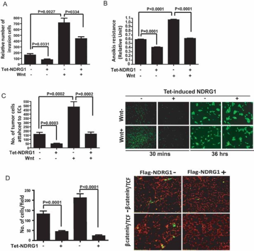 NDRG1 suppresses Wnt-mediated multiple metastatic traitsA-C. PC3mm/Tet cells were treated with or without Wnt followed by treatment of tetracycline or not, and were subjected to assays for invasion (A), anoikis resistance (B) and adhesion assays (C).D. PC3mm/Tet cells were transfected with the expression plasmids of β-catenin/TCF or vector control plasmids followed by treatment of tetracycline or not. Cells were then stained with CellTracker Green and injected into the lateral vein of nude mice (n = 3). Lungs were removed after 48 h and sectioned followed by counting the number of tumour cells under the confocal microscope. Lung vasculature was visualized by staining with rhodamine-conjugated lectin. For all experiment, values are from three independent experiments in triplicate. p values were calculated by two-sided Student's t-test.