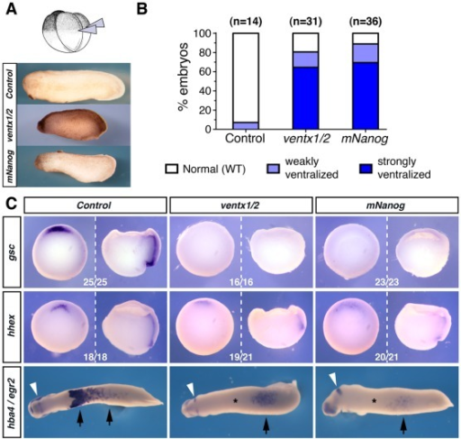 mNanog and ventx1/2 overexpression cause similar effects in Xenopus embryos.(A) Four-cell stage embryos (NF3) were injected in both dorsal blastomeres, with a 1∶3 mix of ventx1.2 and ventx2.1-b mRNAs (ventx1/2; 0.5 ng per blastomere), with mouse Nanog mRNA (mNanog; 0.15 ng/blastomere), or with water for control. Representative phenotypes observed at tailbud stage (NF28) are shown (lateral views, anterior to the left, dorsal to the top). (B) Percentages of observed phenotypes in three independent experiments for mock (n = 14), ventx1/2 (n = 31) and mNanog (n = 36) mRNAs injections. (C) Embryos injected as in (A) were collected at early gastrulae (NF10.5; whole embryos: ventral view, dorsal side to the top; hemisected embryos: lateral view, dorsal to the left, animal side to the top) and tailbud (NF28; ventral view, anterior to the left) stages and processed for whole-mount in situ hybridization (WISH) with a gsc or hhex probe, or with hba4 (black arrowheads) and egr2 (white arrowheads), respectively. The number of embryos showing staining similar to the one photographed over the total number of embryos assayed is indicated.