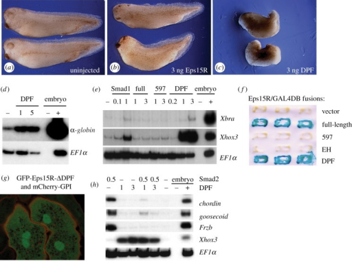 The DPF domain transactivates gene expression and differentially modulates Smad signalling. (a–c) Effects of over-expression of full-length Eps15R, or the DPF domain alone, on Xenopus development. (a) Uninjected embryos. (b) Embryos injected with 3 ng RNA encoding Eps15R. (c) Embryos injected with 3 ng RNA encoding the Eps15R DPF domain. (d) RT-PCR showing globin induction by the DPF domain in NF21 animal caps. (e) The DPF domain mimics the activity of Smad1 in the induction of Xbra and Xhox3 in NF11 gastrula caps but the full-length Eps15R lacks this ability. (f) Both full length Eps15R and the DPF domain can transactivate transcription in the yeast assay. (g) The cytoplasmic localization of GFP-Eps15R-ΔDPF is disrupted, displaying a diffuse, reticulated cytoplasmic distribution, in contrast to the punctate cytoplasmic localization of the full-length version shown in figure 1d. Nuclear enrichment is retained in the absence of the DPF domain. (h) The DPF domain antagonizes the ability of Smad2 to induce expression of genes such as chordin, goosecoid and Frzb in NF11 gastrula animal caps, which instead activates the ventral marker Xhox3.