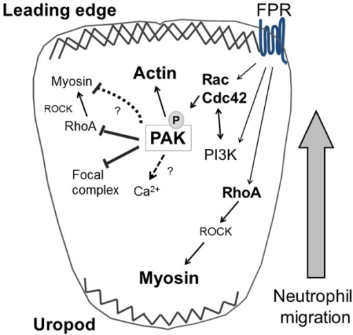A model for PAK-mediated cytoskeletal regulation in human neutrophils.PAK coordinates the crosstalk between Rho GTPases and cytoskeletal dynamics in migrating neutrophils.