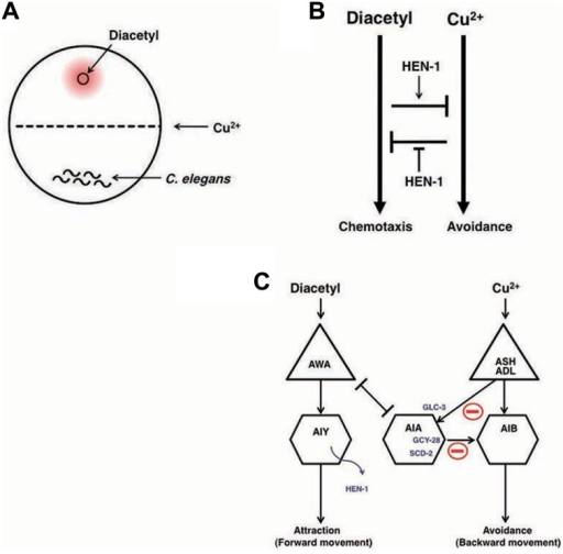 Neural integration of two different types of information and decision on behavioral choice (Ishihara et al. 2002; Shinkai et al., 2011).(A) The assay system of interaction assay. (B) The reciprocal inhibition model of the attractive signaling to diacetyl and the avoidance signaling to Cu2+. (C) A neural circuit model of the interaction of two sensory signals and decision-making. The activity of AIA interneurons is regulated by the balance between excitatory inputs from AWA through the gap junction and inhibitory inputs from ASH and ADL neurons through the glutamate-gated chloride channel GLC-3. Activated AIA interneurons would increase the relative strength of the signals for diacetyl by inhibiting the signals for Cu2+. GCY-28 and SCD-2 may enhance the inhibitory synaptic outputs from AIA neurons. HEN-1, a secretory protein released from AIY neurons, may act on the receptor SCD-2. The details of the mechanism of HEN-1 action are not yet fully understood.