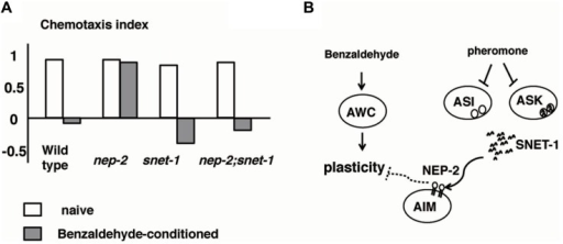 Alteration to odorant preference influenced by population density of animals (Yamada et al., 2010).(A) Olfactory plasticity of nep-2, snet-1, nep-2:snet-1 mutants. The nep-2 mutants exhibited defective olfactory plasticity. The abnormality olfactory plasticity of nep-2 mutants is suppressed by the mutation in the snet-1 gene. (B). Proposed model of the alteration of olfactory plasticity induced by crude pheromone. SNET-1 is a peptide that inhibits olfactory plasticity. NEP-2 is an extracellular peptidase homologous to neprilysin. The environmental crude pheromone suppresses the expression of SNET-1, thereby facilitating the animals' olfactory plasticity and ability to move away from the odor source. SNET-1 is accumulated in nep-2 mutants causing the loss of olfactory plasticity and the migration to the odor source.
