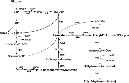 Schematic representation of the SD and ED metabolic pathways in PHB accumulation recombinantE.coli. Dashed lines indicate multiple enzymatic steps. The bold lines indicate the enzymes of SD pathway including reactions catalyzed by SerACB and SdaA. The enzymes that had been overexpressed in this work were shown in boldface. G6P, glucose-6-phosphate; FBP, fructose-1,6-bisphosphate; G3P, glycerahyde-3-phosphate; DHAP, dihydroxyacetone phosphate; 6PG, 6-phosphate-gluconate. Enzymes are as follows: Zwf, glucose 6-phosphate-1-dehydrogenase; Edd, phosphogluconate dehydratase; Eda, 2-keto-3-deoxygluconate 6-phosphate aldolase; Pgk, phosphoglycerate kinase; SerA, D-3-phosphoglycerate dehydrogenase; SerB, phosphoserine phosphatase; SerC, 3-phosphoserine aminotransferase; SdaA, L-serine deaminase I; PoxB, pyruvate oxidase; Pta, phosphate acetyltransferase; Ack, acetate kinase; PhaA, β-ketothiolase; PhaB, NADPH-dependent acetoacetyl-CoA reductase; PhaC, PHB synthase.