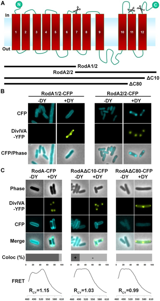 (A) Topology model of RodA according to topology prediction (TMHMM). Scissors indicate truncation sites. The protein possesses 12 transmembrane domains and both ends are at the cytoplasmic site. (B) Fluorescence microscopy images of full length DivIVA-YFP and the two truncation mutants RodA1/2-CFP and RodA2/2-CFP. While individually expressed RodA1/2-CFP localizes to the membrane (first column), co-localization with DivIVA-YFP seems to be abolished (second column). RodA2/2-CFP lost completely its membrane localization and appears cytoplasmic (third column); however, when co-expressed with DivIVA, it is co-localized to DivIVA foci (forth column). (C) Localization of RodA-CFP, RodAΔC10-CFP, and RodAΔC80-CFP (-DY) and co-localization with DivIVA-YFP (+DY). Full length RodA co-localizes to 95% of all DivIVA foci, RodAΔC10-CFP co-localizes to 20%, and RodAΔC80-CFP does not co-localize with DivIVA-YFP. FRET measurements confirm these observations. RCY values are 1.15 for full length RodA, 1.03 for RodAΔC10-CFP, and 0.99 for RodAΔC80-CFP.