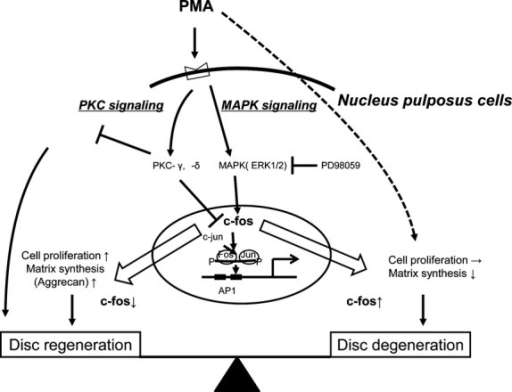 A suggested model for the regulation of c-fos expression via MAPK signaling and PKC signaling in NP cells. (Figure adapted from Yokoyama K, Hiyama A, Arai F, et al. C-Fos regulation by the MAPK and PKC pathways in intervertebral disc cells. PLoS ONE. 2013; 8: e73210.)