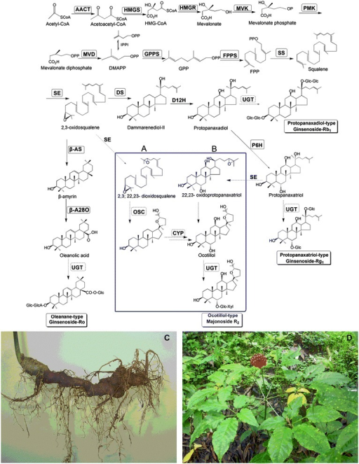 Putative pathway for triterpene saponin biosynthesis. Putative pathway for triterpene saponin biosynthesis in P. vietnamensis var. fuscidicus. Two proposed pathways (A and B) for the biosynthesis of ocotillol-type saponins, mainlymajonoside R2 in the horizontally grown rhizome (C) of P. vietnamensis var. fuscidicus(D). Enzymes found in this study are boxed. Abbreviations: AACT, acetyl-CoA acetyltransferase; β-AS, β-amyrin synthase; DMAPP, dimethylallyl diphosphate; DS, dammarenediol-II synthase; FPP, farnesyl diphosphate; FPPS, farnesyl diphosphate synthase; Glc, glucose; GPP, geranyl pyrophosphate; GGPP, geranylgeranyl diphosphate; GGPPS, geranylgeranyl pyrophosphate synthase; GT, glycosyltransferase; HMG-CoA, 3-hydroxy-3-methylglutaryl coenzyme A; HMGR, HMG-CoA reductase; HMGS, HMG-CoA synthase; IPP, isopentenyl diphosphate; IPPI, IPP isomerase; MVD, mevalonate diphosphate decarboxylase; MVK, mevalonate kinase; P450, cytochrome P450; PMK, phosphomevalonate kinase; SE, squalene epoxidase; SS, squalene synthase.