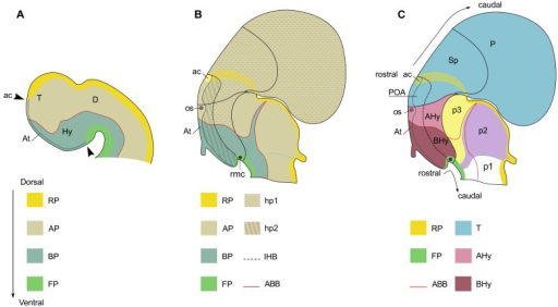 Squematic representations of the prosencephalon of early (A) and late (B,C) mouse embryo to show correspondence of longitudinal and tranverse domains in the secondary prosencephalon under the updated prosomeric model. Domains in (A) are illustrated according to Figure 1.1C in Martínez et al. (2012). Domains in (B,C) are illustrated according to Figure 8.5B in Puelles et al. (2012). (A) Longitudinal domains in early embryos. The arrowheads mark both the dorso-caudal and ventro-caudal limits of the acroterminal territory (At). This territory is considered the rostral-most domain of the neural tube. The dorso-caudal limit of the At can be identified caudal to the anterior commissure. (B) Longitudinal and transverse organization in late embryos. (C) Segmental organization of the secondary prosencephalon according to the prosomeric model. For abbreviations, see list.