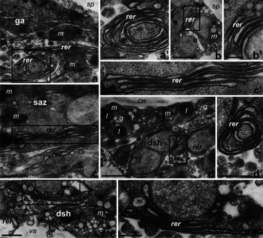 The presence of RER cisternae in the regions of Petunia germinating pollen (a–b′) and growing tubes (c–e′) in which accumulation of PhCRT mRNA, CRT protein, and 18S rRNA was revealed. a–a′ the germinal aperture (ga) of germinating pollen, b–b′ inactive aperture (a) of germinating pollen, c–c′ the subapical zone (saz) of the growing pollen tube, d–d′ peripheral distal shank (dsh) of the pollen tube, e–e′ central dsh of the pollen tube. a′, b′, c′, d′, and e′ are the bigger magnifications of marked regions in respective photos. g Golgi stacks, l lipid body, m mitochondria, rer rough ER, sp sporoderm, va vacuole. Bars 1 μm (a–e), 500 nm (a′, c′, e′), and 250 nm (b′, d′)