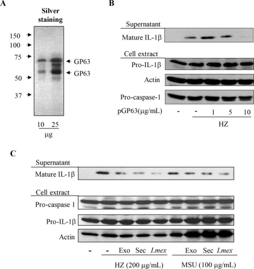 Purified GP63 and leishmanial exosomes containing GP63 inhibit IL-1β maturation induced by inflammasome activators.Silver staining of purified GP63 (A). PMA-differentiated THP-1 cells (1x106 cells/mL) were pre-treated (2 hrs) with or without the indicated concentration of purified GP63 (pGP63) (B) or either leishmanial exosome (exo) or secretome (sec) (C) for 2 hrs and stimulated with 200 μg/mL of the malarial pigment—HZ, or MSU as specified. After 6 hrs of incubation, supernatant and cell extracts were collected and subjected to Western blot analysis with the indicated antibodies. Data shown is representative of three independent experiments. Materials containing GP63 leads to inhibition of inflammasome activation.