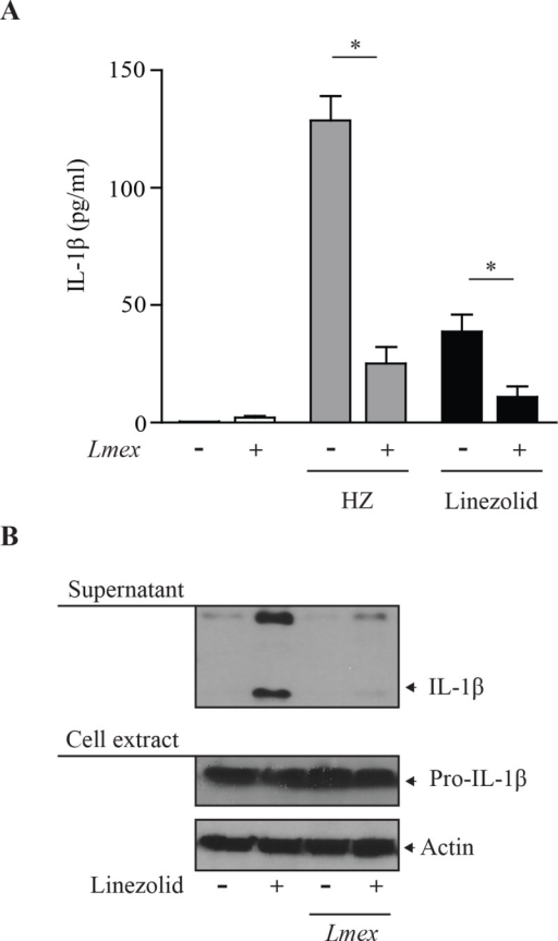 ROS-independent IL-1β generation is dampened after infection with Leishmania.(A) LPS-primed BMDMs were infected with Leishmania mexicana (Lmex), for 2 hrs. Cells were washed three times and incubated in serum free MEM alpha medium for 16 hrs in the presence of linezolid (100 μg/ml) or HZ (200 μg/ml) as indicated. Supernatants were collected and subjected to IL-1β specific ELISA analysis. Data shows mean values with SEM of 3 independent experiments. Differences were considered significant for p < 0.05(*). (B) PMA-differentiated THP-1 cells were infected with Leishmania mexicana (Lmex). Cells were washed three times and incubated in serum free MEM alpha medium for 16 hrs in the presence of linezolid (100 μg/ml) as indicated. Afterwards, cell extracts were collected and subjected to Western blot analysis with the indicated antibodies. Data shown is representative of three independent experiments.