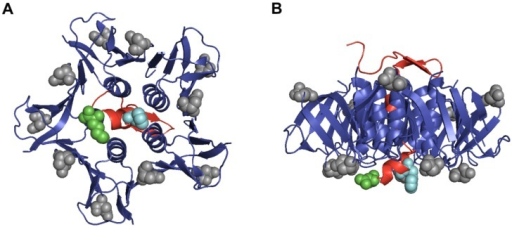 Crystal structure of A2 peptide and B subunits from Stx2a. A ribbon representation of the crystal structure of the A2 peptide shows the relative locations of the amino acids at positions 291 and 297 in comparison to positions 16 and 24 from the B subunits. The A2 peptide is colored red with a space-filled model of phenylalanine at position 291 depicted in teal and lysine at position 297 highlighted in green. The B subunits are colored blue with a space-filled model of aspartic acid at positions 16 and 24 highlighted in grey. Part (A) shows the binding face of Stx2a; Part (B) shows a horizontal view of the toxin with the binding face at the bottom. The PDB accession number for Stx2a is 1R4P. In this representation, the A1 portion of the structure is not shown.