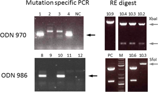 Detection of ODN-mediated genome edits by nested PCR and restriction mapping.Shown are representative examples of PCR results for the second, mutation-specific fragment amplification from individual blastocysts that were co-injected with ZFN and ODN 970 or 986 (left hand panels) at the zygote stage. Black arrows indicate successful amplification that identifies genome-edited embryos. NC: negative control (water). The right hand panels display the result of diagnostic restriction enzyme (RE) digests of different subclones (10.2, 3, 4, 9) derived from embryo 10 co-injected with ZFN/ODN 970 and subclones 10.3 and 10.6 derived from ZFN/ODN 986 injected embryo10. The grey arrows point to diagnostic restriction fragments that differ due to the presence of a new XbaI or absence of a SfoI site in the genome edited allele. PC: positive control (wild type blastocyst) M: DNA size marker.