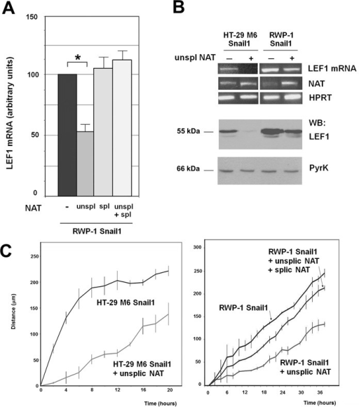 LEF1 NAT controls the expression of LEF1 mRNA and protein. (A) Unspliced (+213/−1856) or spliced NAT were synthesized in vitro. A three-fold excess spliced NAT with respect to the unspliced form were transfected in the conditions indicated in Methods. In the control samples an irrelevant RNA (corresponding to a fragment of pcDNA3 plasmid) was transfected. After 36 h, RNA was obtained and levels of LEF1 mRNA were determined using two oligonucleotides corresponding to an amplicon present in the third exon. The results correspond to the average ± range of two experiments performed in duplicate. The asterisk indicates significant (P < 0.05). (B) RWP-1 or HT-29 M6 Snail1 cells were stably transfected with pBabe-LEF1 NAT (unspliced) or pBabe as control. RNA was collected and analyzed by RT-PCR with oligonucleotides specific for LEF1 mRNA, LEF1 NAT (total) or HPRT as control (top panel); alternatively protein extracts were prepared and analyzed by western blot with a polyclonal antibody against LEF1 (Cell Signal) or anti PyrK (Sigma) (bottom panel). (C) The migration capacity of the indicated cell populations was determined as described in Methods. The differences are significant with a P < 0.05.