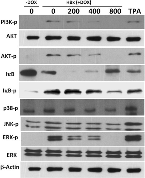 Effect of SNS on HBx-induced, MAPK, IκB, and AKT- signaling pathways. HepG2-HBx-GFP cells were pretreated with 200–800 μg/ml SNS before incubation with DOX for 45 min. Whole-cell lysates were then prepared and subjected to Western blot analysis using antibodies specific for phosphorylated PI3k, AKT, IκB, JNK, p38, and ERK in Western blot